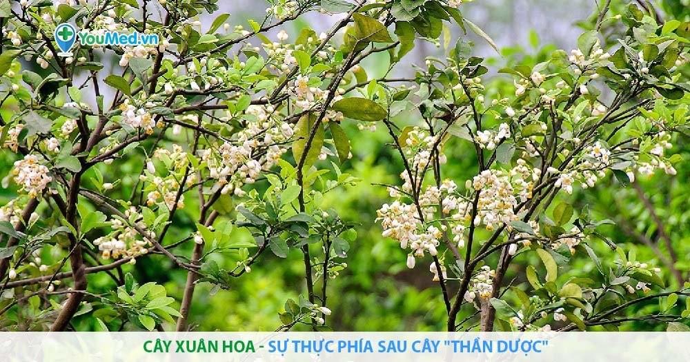 """Cây Xuân hoa - sự thực phía sau cây """"thần dược"""""""