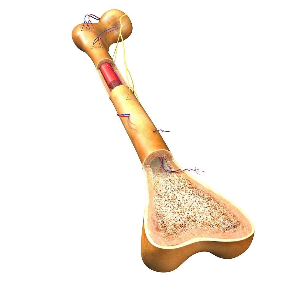 Các tế bào ung thư chủ yếu xuất phát từ tủy xương, mô xốp ở trung tâm của xương