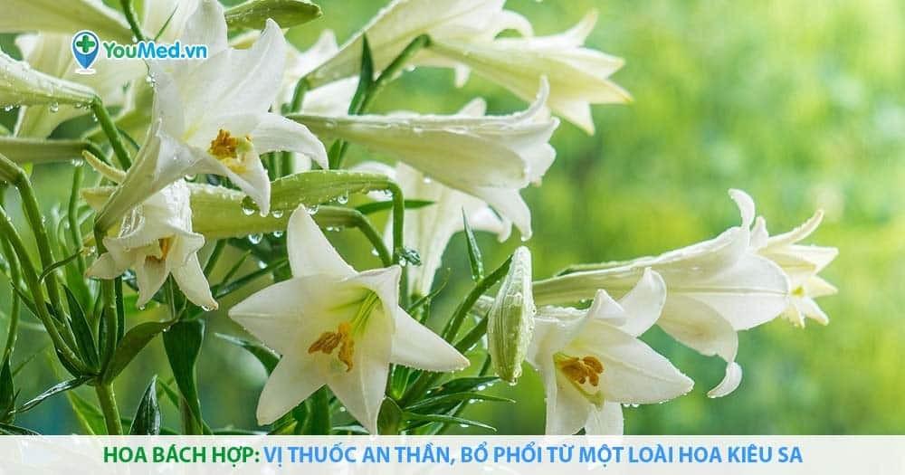Hoa bách hợp: Vị thuốc an thần, bổ phổi từ một loài hoa kiêu sa