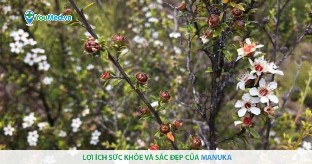 Lợi ích sức khỏe và sắc đẹp của manuka