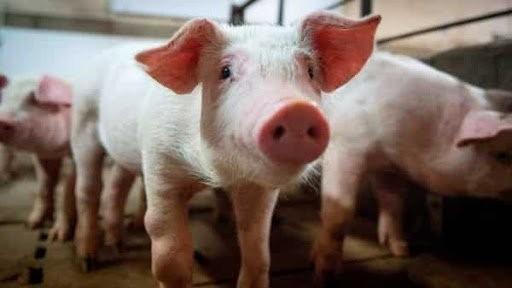 Bệnh dịch tả lợn Châu Phi- những dấu hiệu bệnh cần chú ý 1