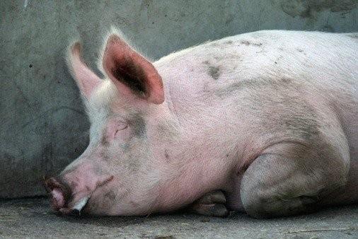 Bệnh dịch tả lợn Châu Phi- những dấu hiệu bệnh cần chú ý 4