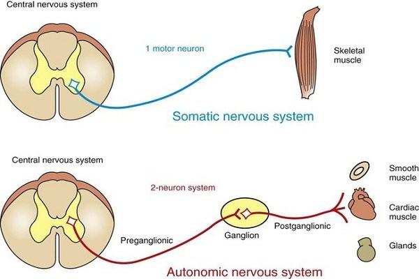 Cấu trúc của hệ thần kinh giao cảm