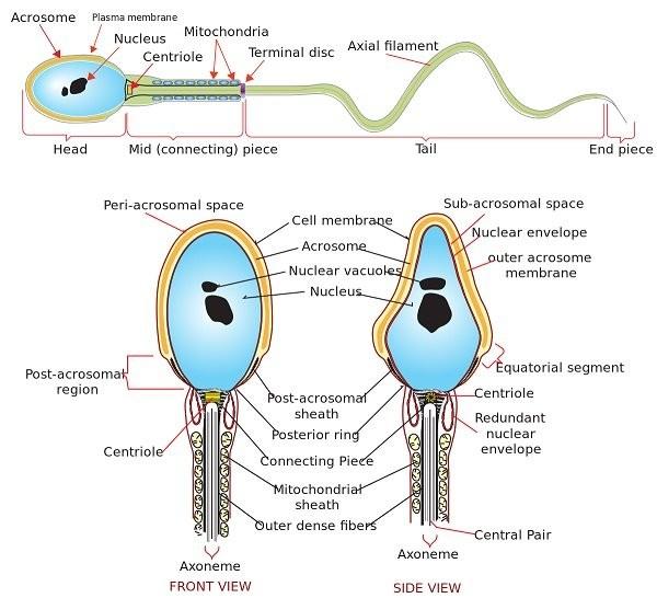 Cấu trúc của tinh trùng