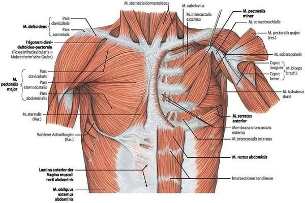 Cấu trúc thành ngực