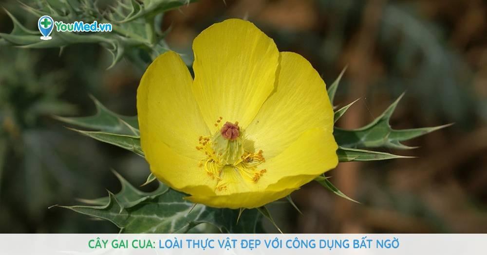 Cây Gai cua: Loài thực vật đẹp với công dụng bất ngờ