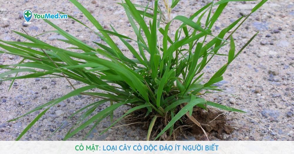 Cỏ mật: Loại cây cỏ độc đáo ít người biết