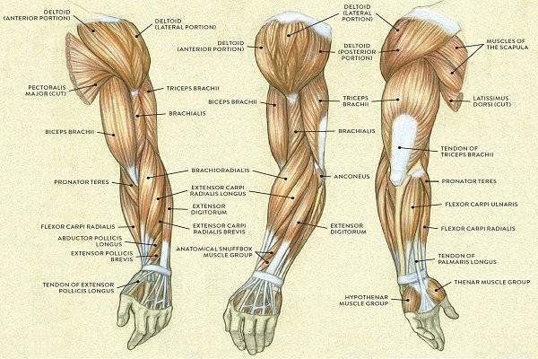 Giải phẫu cánh tay