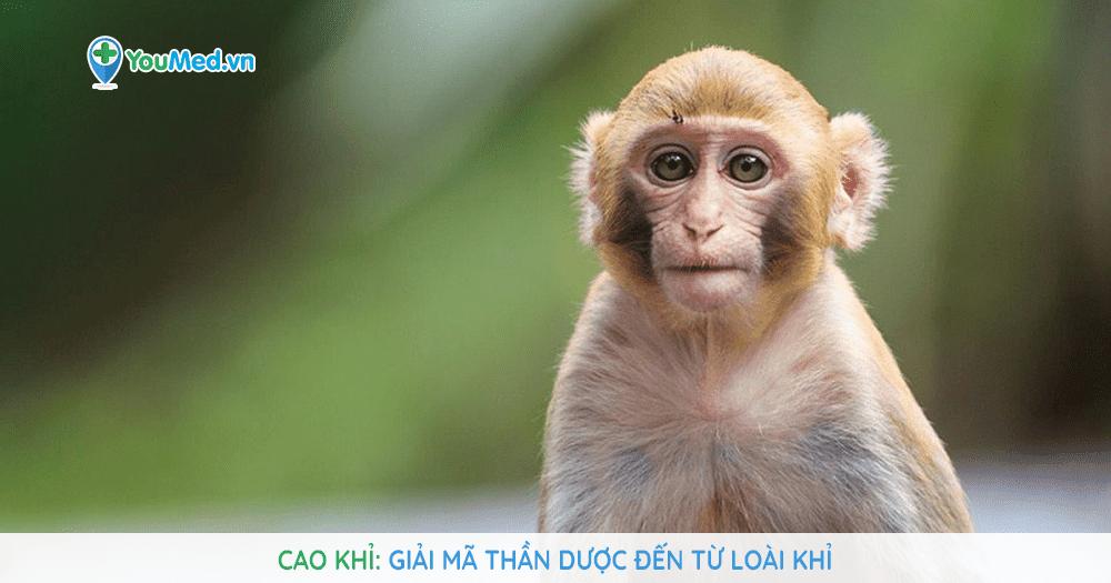 Cao Khỉ: Giải mã thần dược đến từ loài Khỉ