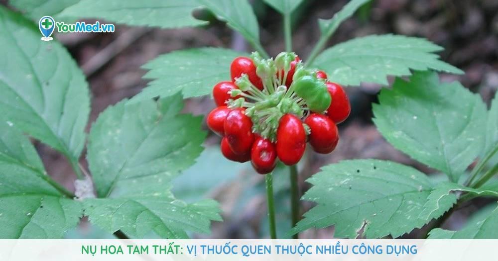 Nụ hoa tam thất: Vị thuốc quen thuộc nhiều công dụng