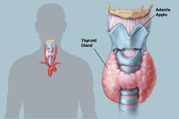 Hình ảnh tuyến giáp của con người - suy giáp có nên mang thai