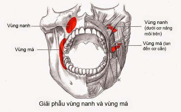 Giải phẫu vùng nanh và má