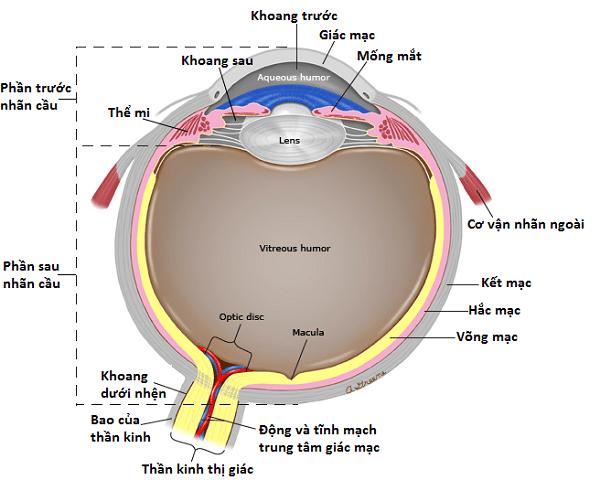 Aqueous humor: Thuỷ dịch. Lens: Thuỷ tinh thể. Vitreous humor: Dịch kính. Optic disc: Gai thị giác - chỗ nối với thần kinh thị giác. Macula: Hoàng điểm.