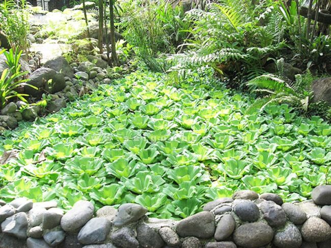 Bèo cái được trồng làm cảnh