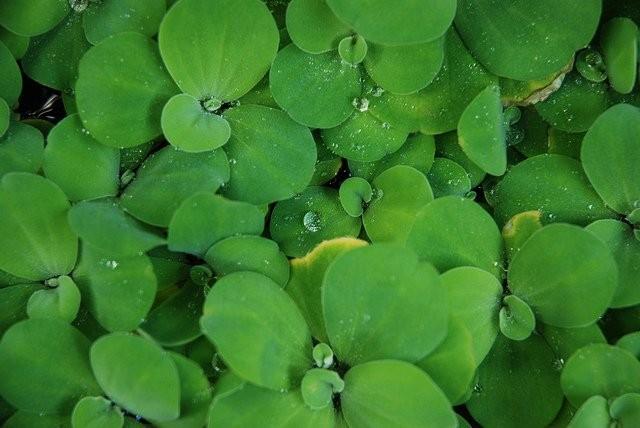 Bèo cái là loại cây thảo thủy sinh, mọc nhiều ở các vùng sông nước