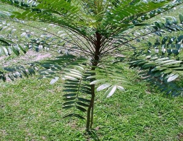 Thân cây Mật nhân khá mảnh, thường mọc dưới tán những cây lớn khác