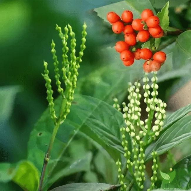 Các bộ phận hoa, quả và cả thân, rễ của cây hoa sói đều được sử dụng để làm thuốc