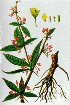cây hoàng liên gai