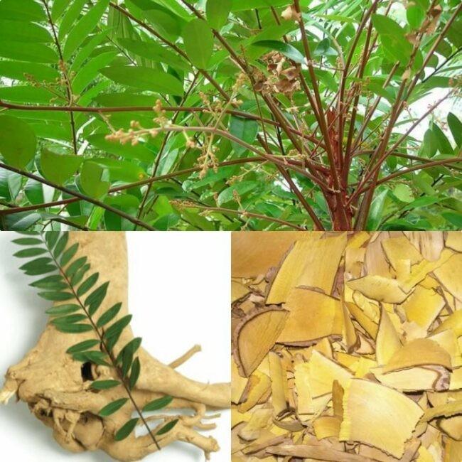 Lá và rễ Mật nhân đều có công dụng chữa bệnh