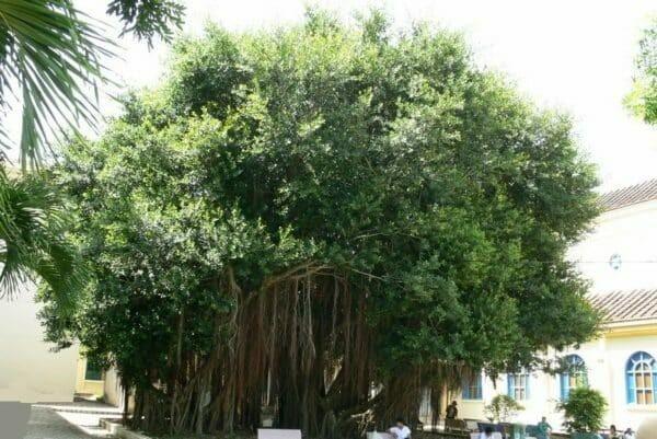 Cây Si cổ thụ cao tới hàng chục mét, có nhiều rễ phụ