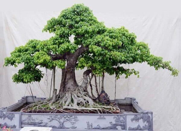 Cây Si thường được trồng làm cảnh