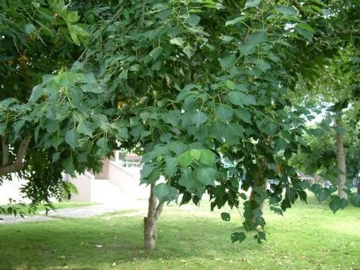 Sòi là cây thân gỗ cao 4-6m