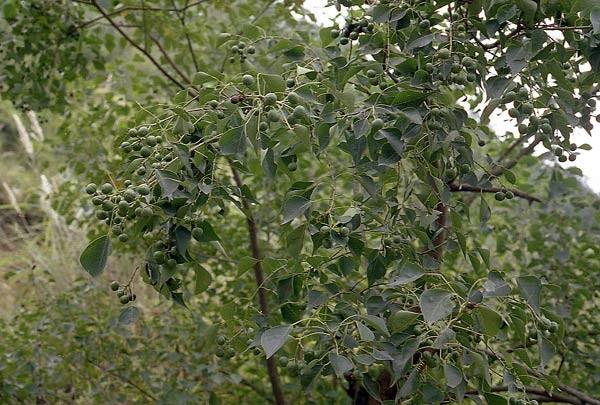 Cây Sòi mọc hoang khắp nơi trên nước ta