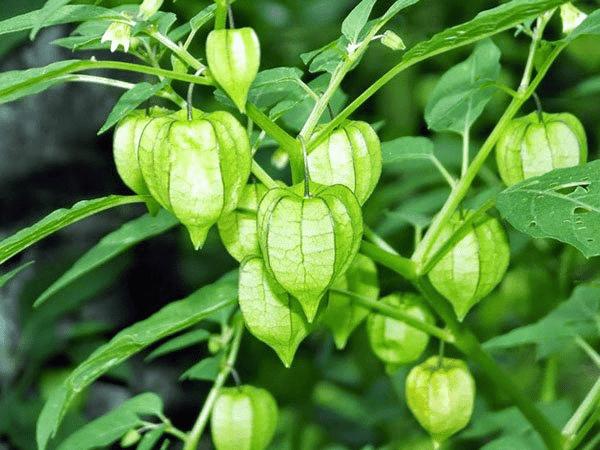 Các bộ phận rễ, thân, lá, quả Tầm bóp đều được dùng để làm thuốc