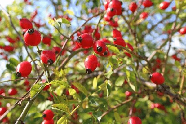 Các bộ phận rễ, hoa, lá, quả Tầm xuân đều được dùng để làm thuốc