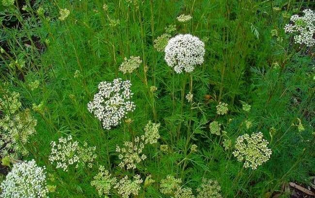 Cụm hoa Xà sàng nhìn từ trên cao xuống nhìn giống cái giần để sàng gạo