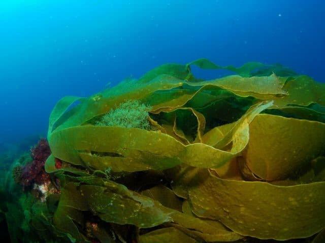 Côn bố là một loại tảo dẹt