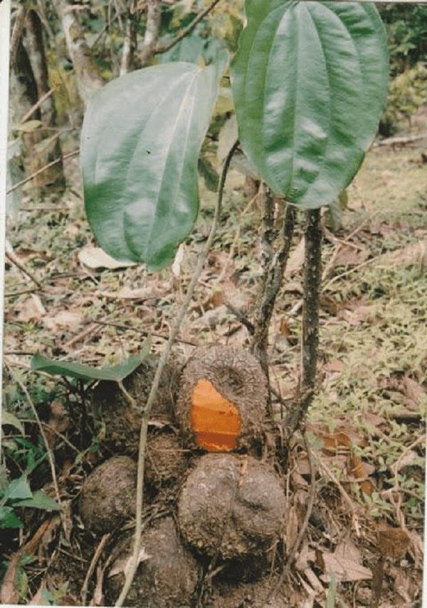 Lá và củ của Củ nâu