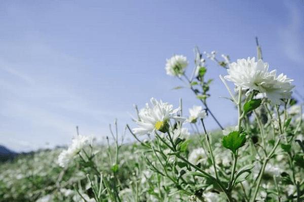 Cúc hoa trắng có thể dùng làm cảnh, làm trà uống, hoặc làm vị thuốc trị bệnh