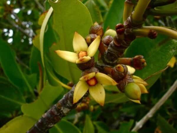 Hoa của cây Đước