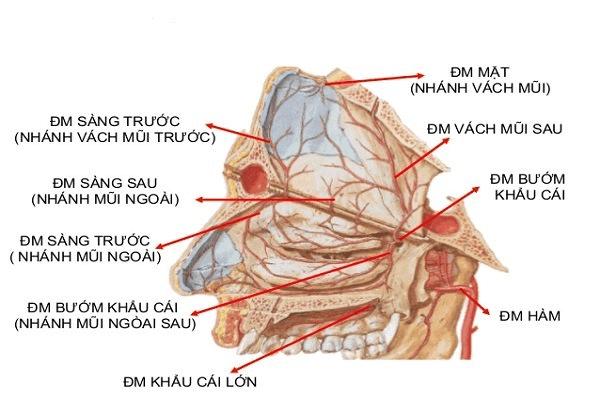 Động mạch cung cấp máu cho khoang mũi
