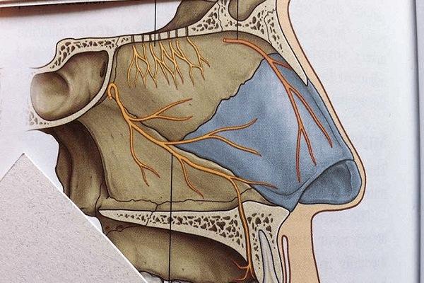 Các dây thần kinh tại khoang mũi