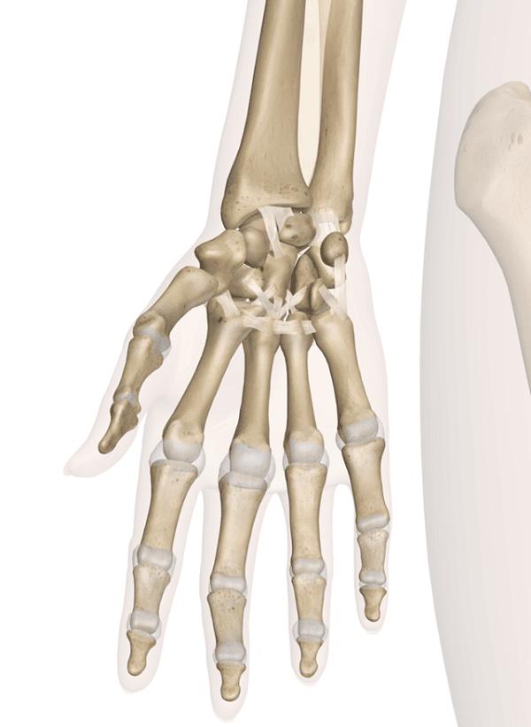 Giải phẫu xương vùng cổ tay