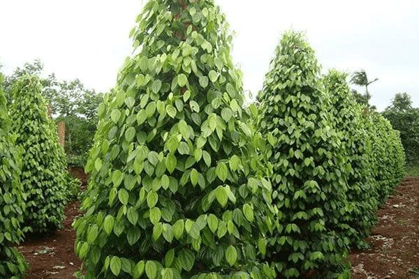 Việt Nam là một trong những nước trồng tiêu lớn trên thế giới