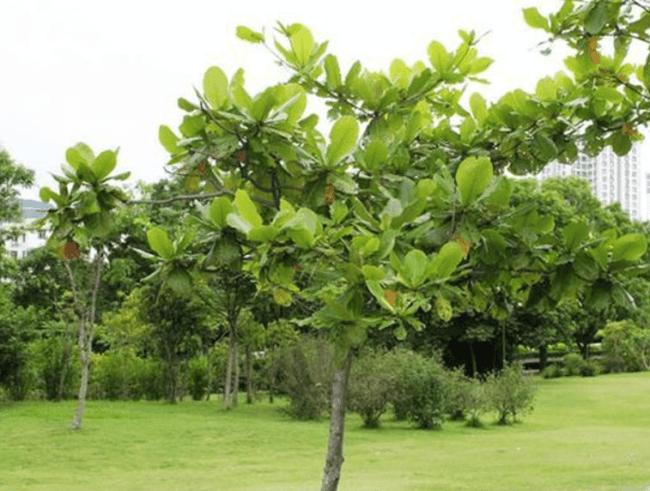 Bàng là cây thân gỗ lớn, cây lâu năm có thể cao tới hàng chục mét