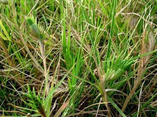 Đây là loài cỏ sống dai, bò chằng chịt vào nhau thành thảm cỏ dày đặc.
