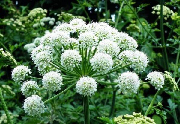 Hoa bạch chỉ màu trắng