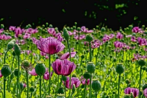 Hoa Anh túc có nhiều màu sắc rất đẹp