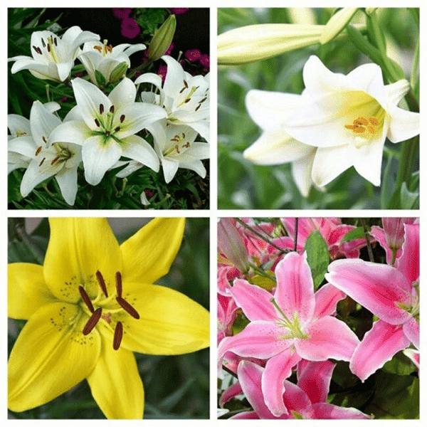 Hoa Bách hợp có rất nhiều loại