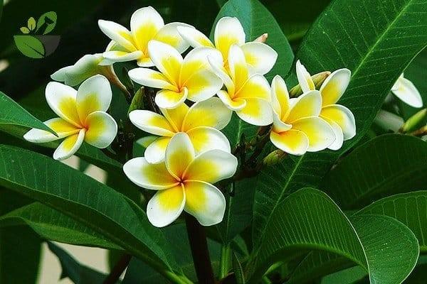 Hoa Đại đẹp và rất thơm, cũng là một trong những bộ phận dùng làm thuốc