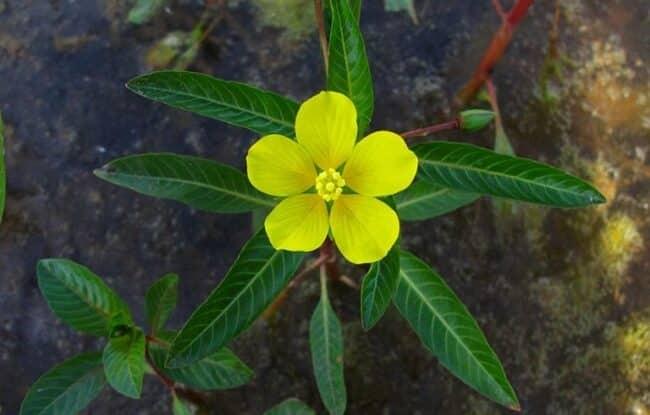 Hoa rau mương màu vàng, nhỏ
