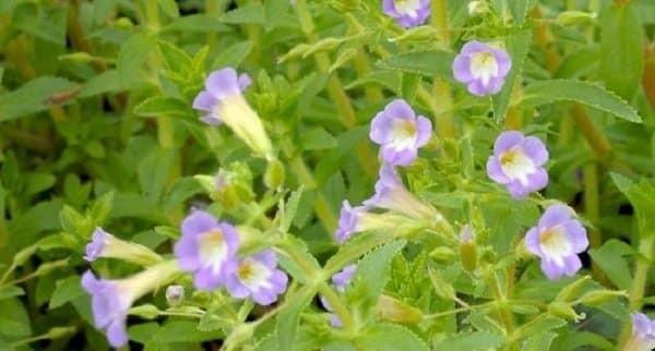 Hoa rau ôm màu tím nhạtt