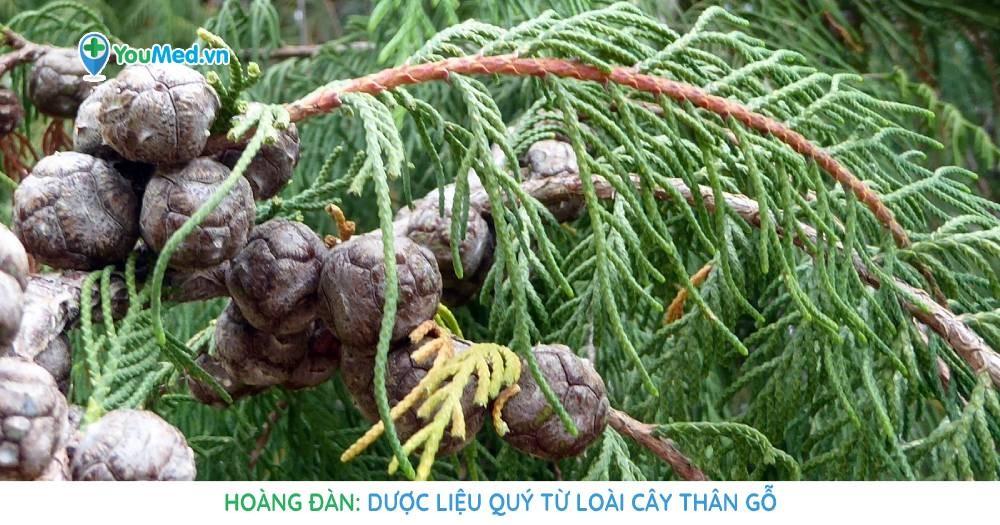 Hoàng đàn: Dược liệu quý từ loài cây thân gỗ