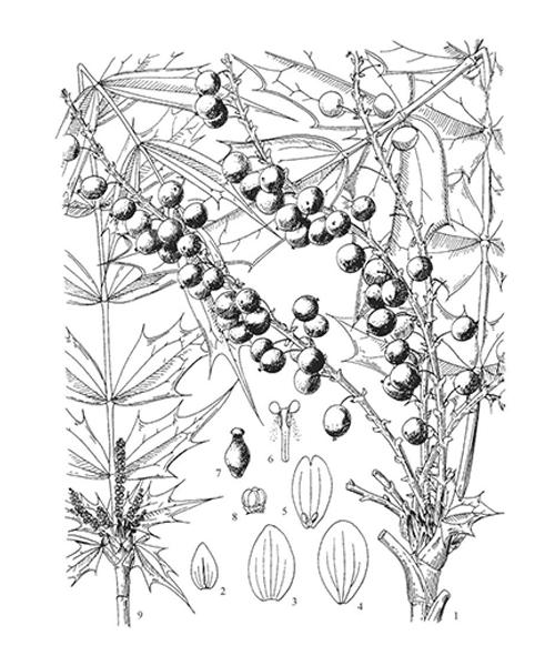 Mô tả cây hoàng liên ô rô