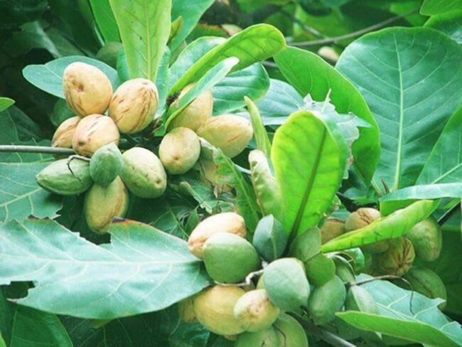 Lá, quả, vỏ và nhựa bàng được dùng để làm thuốc