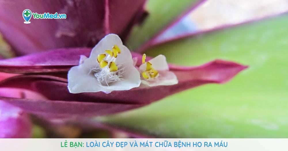 Lẻ bạn: Loài cây đẹp và mát chữa bệnh ho ra máu